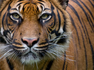 Sumatran Tiger, courtesy of the WWF.