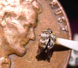 Full sized, adult varied carpet beetle. Yuck!
