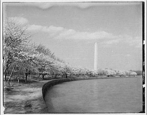 Cherry Blossoms surrounding the Tidal Basin, with the Washington Monument in the background, c. 1920.